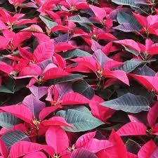 Poinsettiaflower Photos Images Pics