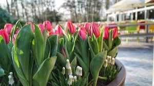 keukenhof 2018 tulips waiting to flower