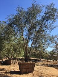 Quercus agrifolia  Coastal Live Oak