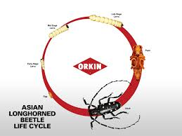 Asian beetle life cycle