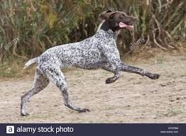 A German Shorthaired Pointer running ...