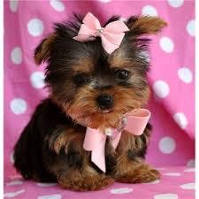 abilene tx gorgeous teacup yorkie puppies available