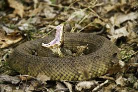Image result for cottonmouth snake