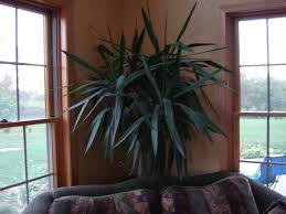 lighting for houseplants. Yucca Plants - Various Houseplant Care Tips Including Watering And Lighting Requirements For Houseplants I