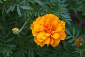 companion planting guide plant list the old farmer s almanac marigold