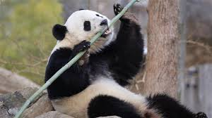Quotes About Pandas Gorgeous Pandas Are Adorable Also A Tool For Chinese Geopolitical