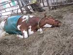 baarmoederontsteking koe