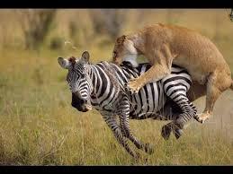 lioness hunting zebra. Perfect Zebra Lion Hunting Zebra  Deadliest Showdowns For Lioness N