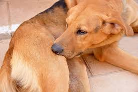 itching scratching chewing pruritis in dogs