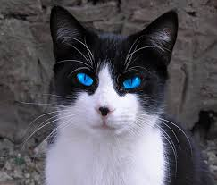 black and white kitten with blue eyes. Brilliant With Namesforawhitecatwithblueeyesmddstz0zjpg Inside Black And White Kitten With Blue Eyes