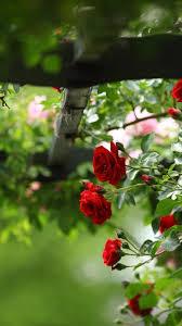 Mobile Iphone Flower Rose Wallpaper Hd ...