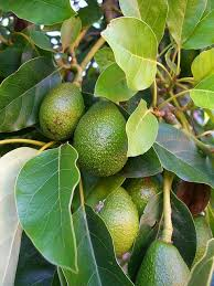 Tree Nurseries  Fruit Trees Shade Trees And Evergreen TreesPots For Fruit Trees
