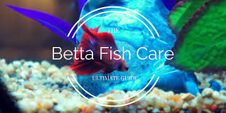 Betta Fish Chart Betta Fish Care How To Take Care Of A Betta Bettafish Org