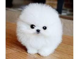 white teacup puppy.  Teacup Home Trained White Micro Tiny Teacup Pomeranian Puppies Intended Puppy