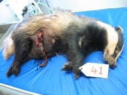 """Résultat de recherche d'images pour """"badger culling"""""""