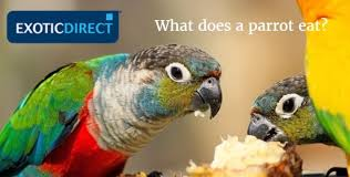 Parrot Diet Chart What Do Parrots Eat Exoticdirect