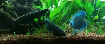 Black Ghost Knife Fish Compatibility Chart How To Train Your Black Ghost Chetan Sharma Medium