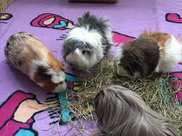 four guinea pigs eating hay