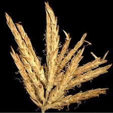 Cyperus microiria (lesser rice-field flatsedge): Go Botany