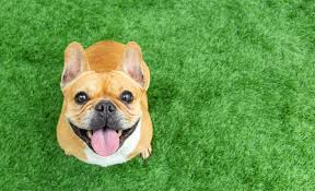 50 small dog breeds best small dogs