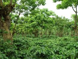 shade grown coffee plantation. Exellent Grown Forty Years Ago Most Of The Coffee We Drank In This Country Was Grown  Shade Rainforests But Then Farmers Figured Out They Could Boost  And Shade Grown Coffee Plantation R