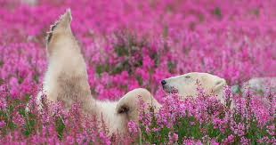 canadian photographer captures polar bears playing in flower fields bored panda