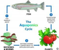 aquaponic gardening. what is aquaponics? aquaponic gardening