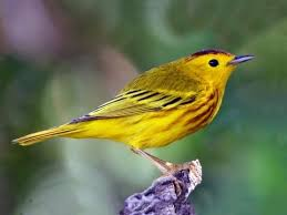 Warbler Id Chart Yellow Warbler Identification All About Birds Cornell Lab