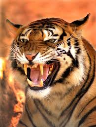 tiger face growling. Plain Face Picture Of A Very Angry Growling Tiger PMS Look  Stock Photo Colourbox Throughout Face