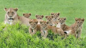 lioness and 4 cubs. Unique Lioness Lioness And Cubs Photos 1 To Lioness And 4 Cubs O