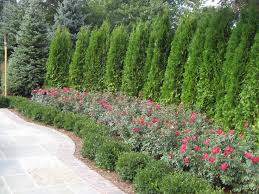 Small Picture Best 25 Shrubs for privacy ideas on Pinterest Privacy trees