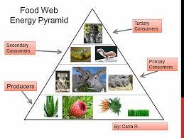 food web energy pyramid   k  computer lab technology lesson plansfood web energy pyramid lesson plan