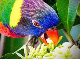 Image result for Lorikeet Rainbow Jigsaw Puzzle