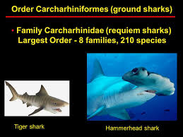 lecture wednesday discuss next weekend  31 order carcharhiniformes ground sharks family carcharhinidae requiem sharks largest order 8 families 210 species tiger shark hammerhead shark