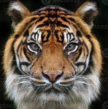 tiger face on black background 715348