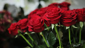 hd red rose. Beautiful Red Amazing Bouquet Of Red Roses Stock Footage Video 100 Royaltyfree  16805803  Shutterstock Throughout Hd Rose S