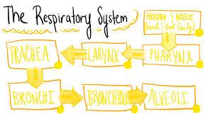 Respiratory System Flow Chart Respiratory System Flowchart Diagram Quizlet