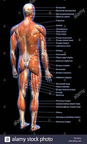 Labeled Anatomy Chart Of Full Body Male Muscular System