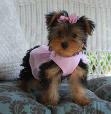 cute yorkie puppies for sale. Modren For Lola Female Yorkie Puppy For Sale Inside Cute Yorkie Puppies For Sale E