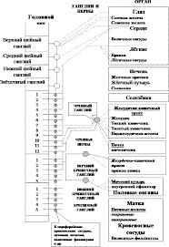 Реферат Системный аспект функционирования и исследование нервной  Нервная система регулирует деятельность всех органов и систем организма Работа каждого органа отделение секрета железами сокращение скелетных мышц и