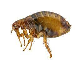 can dog fleas live on humans can i get