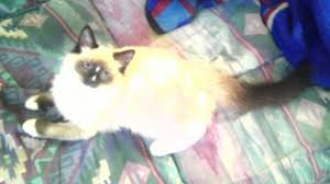 Small Picture Is this a Birman or Ragdoll kitten The Cat Site
