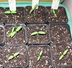 Tomato Seed Growth Chart Growing Tomatoes From Seed How To Plant Tomato Seeds