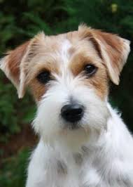 wire haired jack russell terrier. Roughhaired Jack Russell Terrier Parson On Wire Haired