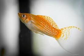 Molly Fry Growth Chart Molly Fish Care Description Fry Care Tank Mates Breeding