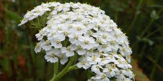 yarrow for toothache