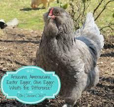 Ameraucana Chicken Color Chart Araucana Ameraucana Or Easter Egger Olive Egger Rainbow