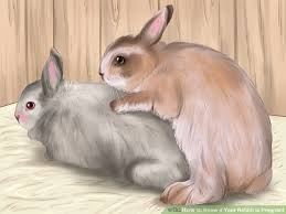 rabbit without fur. Beautiful Fur Image Titled Know If Your Rabbit Is Pregnant Step 6 Inside Without Fur S
