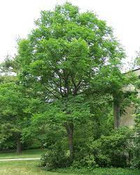 Kentucky coffeetree nearly a century and a half old, this kentucky coffeetree was one of the first plants grown from seed at the arnold arboretum. Kentucky Coffeetree Wikipedia