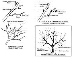 Why You Should Prune Some Of Your Fruit Trees In The Summer Can You Prune Fruit Trees In The Summer